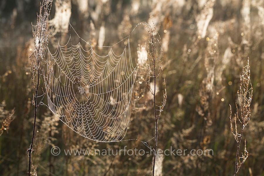Spinnennetze, Spinnennetz im Herbst, herbstlichen Morgentau, Tautropfen, Altweibersommer. cobweb, cobwebs, spider's web, spiderweb, spider's webs, spiderwebs, dewdrop, dewdrops, gossamer. Netz, Netze von Baldachinspinne, Kreuzspinne, Kräuselspinne, Baldachinspinnen, Kreuzspinnen, Kräuselspinnen