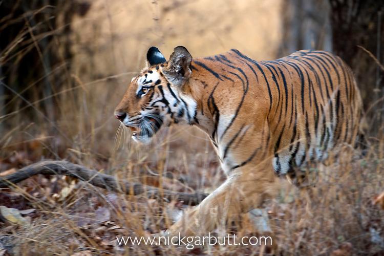 Adult female Bengal Tiger (Panthera tigris) - Durga - patrolling territory. Bandhavgarh NP, India.