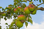 Court Pendu Plat apples. A very old English eating apple.