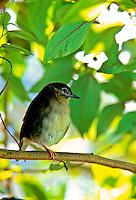 Endangered Puaiohi, (myadestes palmeri) a small Kauai thrush sitting in tree the Alakai Swamp on Kauai
