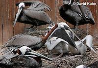 0305-0846  Brown Pelican Feeding Young, Pelecanus occidentalis © David Kuhn/Dwight Kuhn Photography.
