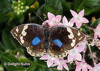LE45-560z  Blue Pansy Butterfly/Blougesiggie, Junonia oenone oenone, Africa