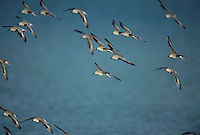 Red Knot, Calidris canutus,flock in flight winter plumage, Sanibel Island, Florida, USA, Dezember 1998