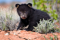 Baby Black Bear standing on the top of a rocky hill - CA
