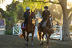 ARCADIA, CA  OCTOBER 30:  Breeders' Cup Juvenile Fillies Turf entrant Daahyeh, trained by Roger Varian, heads back to the barn after her workout at Santa Anita Park in Arcadia, California on October 30, 2019.  (Photo by Casey Phillips/Eclipse Sportswire/CSM)