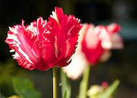 Red and white parrot tulip Estella Rynveld