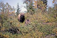 Grizzly bear (Ursus arctos), vrouwtje met jong