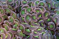 Colonial corals, Euphyllia ancora, Hainan, China, South China Sea, Pacific Ocean