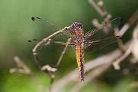 Spitzenfleck, Spitzenfleck-Libelle, Weibchen, Libellula fulva, scarce chaser dragonfly, scarce libellula