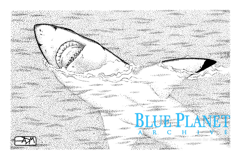 Great white shark, Carcharodon carcharias, repetitive aerial gaping, pen and ink illustration.