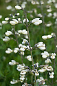 Baptisia alba var. macrophylla, also known as White wild indigo, end June.