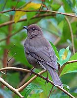 Mountain Robin