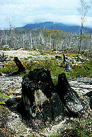 BX03-008a  Forest - one year after forest fire, Baxter State Park, Maine, regrowth, new growth