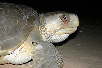 Nesting Australian Flatback Turtle at Flinder's Beach, Mapoon, Cape York Peninsula