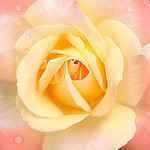A peach and yellow rose with rain drops just after a rain.