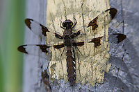 Common Whitetail (Plathemis lydia) Dragonfly - Female, Wallkill National Wildlife Refuge, Sussex, Sussex County, New Jersey