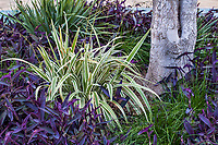 Dianella tasmanica 'Variegata' - White Striped Tasman Flax Lily, variegated foliage perennial; resilient, drought tolerant summer-dry garden at Palm Springs Art Museum in Palm Desert, California