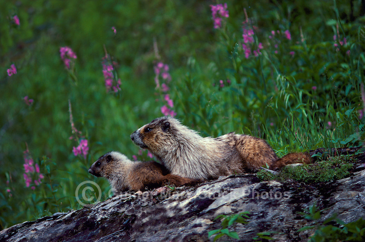 Hoary Marmot (Marmota caligata) Female with Young, basking on Rock in Sun, Yoho National Park, Canadian Rockies, BC, British Columbia, Canada - North American Wildlife
