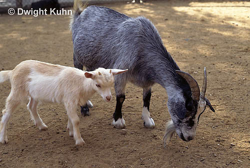 SH05-010z  Goat - kid and adult goat