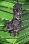 Common Tent-making Bats (Uroderma bilobatum) roosting beneath palm leaf. Lowland rainforest, Pacific Slope. Bosque de Cabo, Osa Peninsula near Corcovado National Park, Costa Rica, Central America.