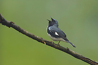 Adult male Black-throated Blue Warber (Dendroica caerulescens) in breeding (alternate) plumage singing. Tompkins County, New York. May.