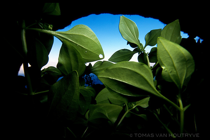Green leaf plants grow just inside the shaded entrance of Hoq cave in Socotra, Yemen on Monday, 16 May 2005.<br />