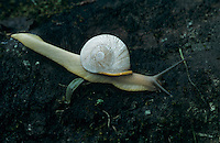 Land Snail, Gastropod, adult , El Yunque, Caribbean National Forest, Puerto Rico, USA, February 2003