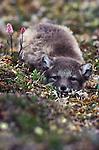 Arctic fox resting in grass, Alaska