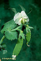HS26-140b  Pea - flower and pods - Bounty variety