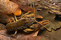 White-clawed Crayfish (Austropotamobius pallipes), Peak District National Park, Derbyshire, UK. October. Photographed under licence. Endangered on the global IUCN Red List of Threatened Species.