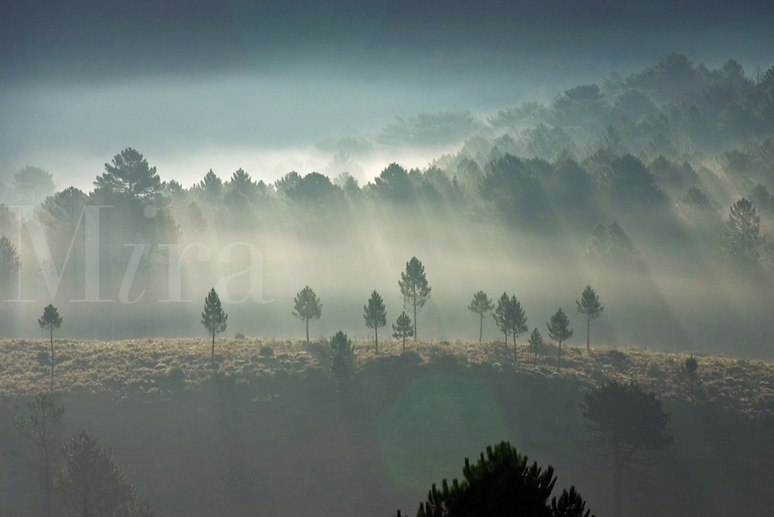 Corsica.  Early  morning misty light through pine forest. Near Zonza. France..