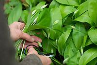 Bärlauch, Bär-Lauch, Bärlauchernte, Bärlauch-Ernte, Ernte, Kräuterernte, Allium ursinum, wild garlic, Ramsons, Wood Garlic, buckrams, broad-leaved garlic, Wood-Garlic, L'ail des ours, ail sauvage