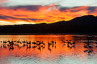 Sandhill Cranes (Grus canadensis) wade in a shallow pool under fiery sunset lit clouds at Bosque del Apache National Wildlife Refuge in San Antonio, New Mexico with the Chupadera Mountains in the background.