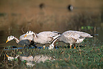 Bar-headed Geese (Anser indicus) feeding at edge of lake. Bharatpur National Park, India.