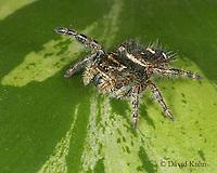 1015-06xx Jumping Spider - Family: Salticidae - © David Kuhn/Dwight Kuhn Photography