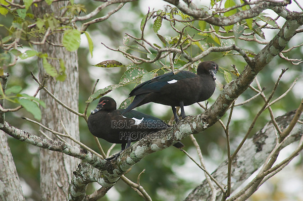 Muscovy Duck, Cairina moschata, pair perched in tree, Carara Biological Reserve, Central Pacific Coast, Costa Rica, Central America, December 2006