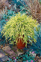 Chamaecyparis pisifera 'Filifera Aurea' aka Golden Mops in pot, Golden Threadleaf Falsecypress