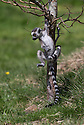 """16/05/16<br /> <br /> """"Look mum - one hand!""""<br /> <br /> Three baby ring-tail lemurs began climbing lessons for the first time today. The four-week-old babies, born days apart from one another, were reluctant to leave their mothers' backs to start with but after encouragement from their doting parents they were soon scaling rocks and trees in their enclosure. One of the youngsters even swung from a branch one-handed, at Peak Wildlife Park in the Staffordshire Peak District. The lesson was brief and the adorable babies soon returned to their mums for snacks and cuddles in the sunshine.<br /> All Rights Reserved F Stop Press Ltd +44 (0)1335 418365"""