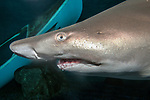 Sand tiger shark, close-up of face and teeth
