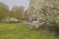 Gewöhnliche Schlehe, Schwarzdorn, Hecke, Knick im Frühjahr mit blühender Schlehe und Löwenzahn-Wiese, Prunus spinosa, Blackthorn, Sloe, Epine noire, Prunellier, hedge