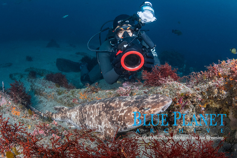 blotchy swellshark, Cephaloscyllium umbratile, aka Japanese swell shark. Tateyama, Chiba, Japan, Pacific Ocean