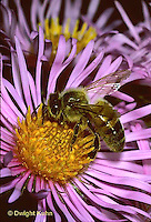 1B04-001z  Honeybee at aster flower  Apis mellifera.