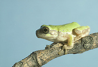 Green tree frog in green phase sitting on tree branch