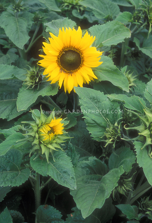 Helianthus annuus Pacino yellow sunflower dwarf variety