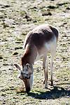 pronghorn full body view grazing, vertcial