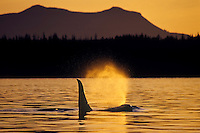 Orca Whale or killer whale (Orcinus orca) blowing near sunset.