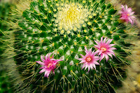 Close up of flowering cactus. Mammillaria. Moorten Botanical Garden, Palm Springs, California