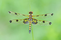 A female Calico Pennant (Celithemis elisa) perches motionless in the early morning.