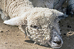 Merino sheep, close-up of face.  Merino sheep can be told apart from their cousin the Dorset sheep by the  hair they grow on their face.