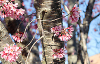 Stock photo - Beautiful delicate pink cherry blossom stem extending from the bark.